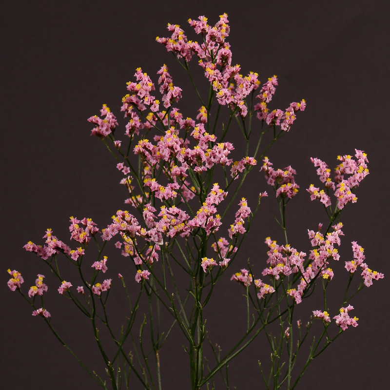 Limonium Sugar Diamond