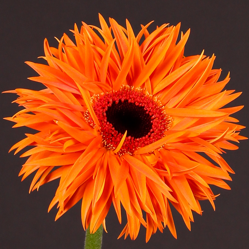 Gerbera Orange Springs