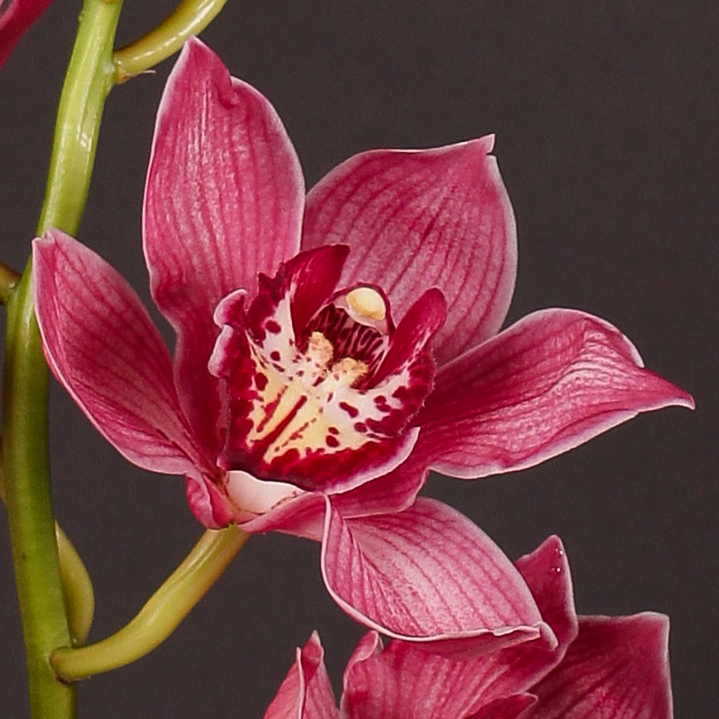 Cymbidium Red Dream