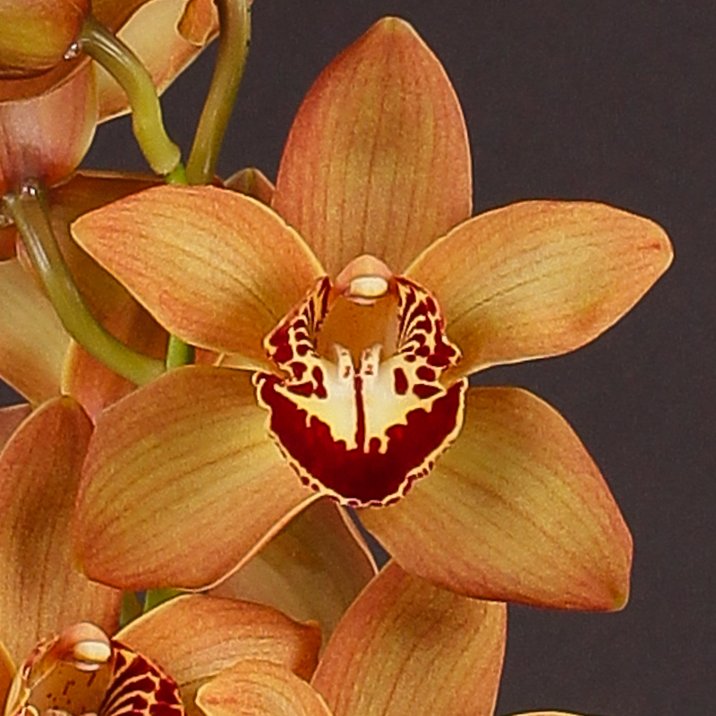 Cymbidium Charm Brown