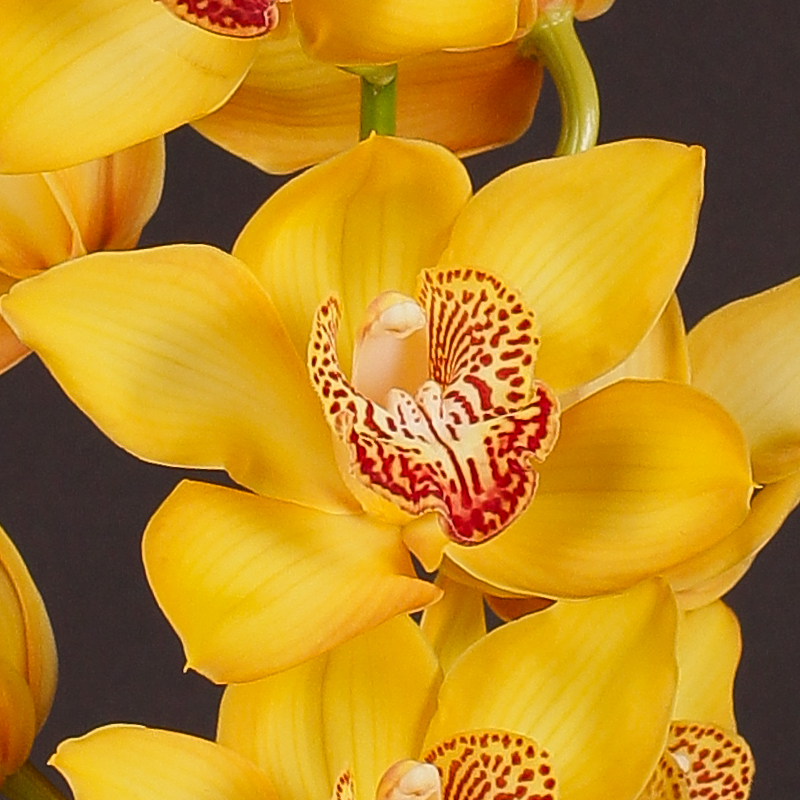 Cymbidium Esther