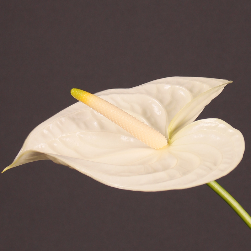 Anthurium Moments