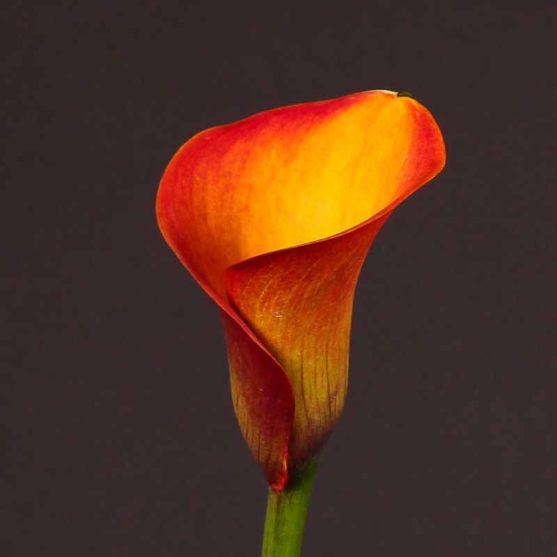 Zantedeschia Safari