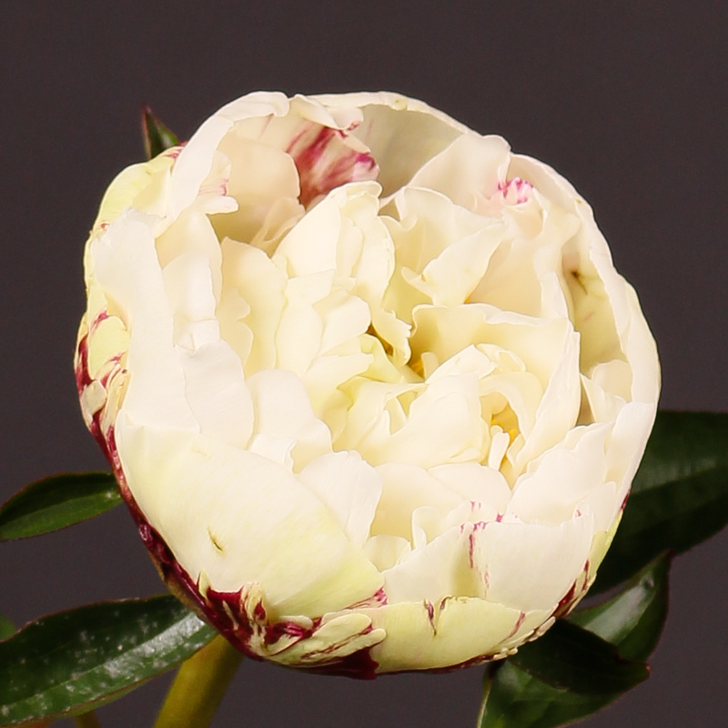 Paeonia Couronne D' Or