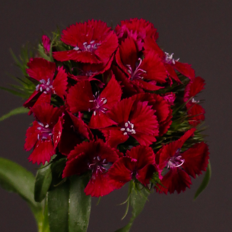 Dianthus Barbatus Sweet Will Purple