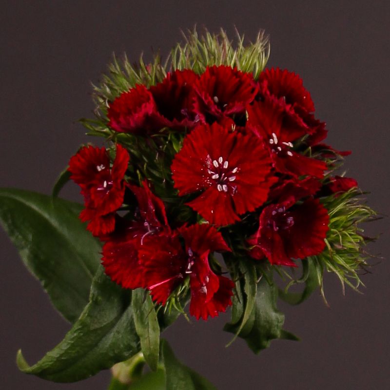 Dianthus Barbatus Sweet Will Red