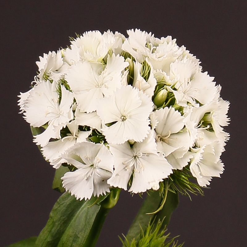 Dianthus Barbatus Sweet Will White