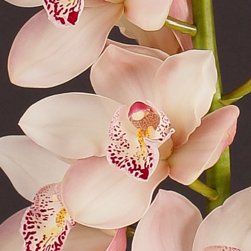 Cymbidium Summer Magic