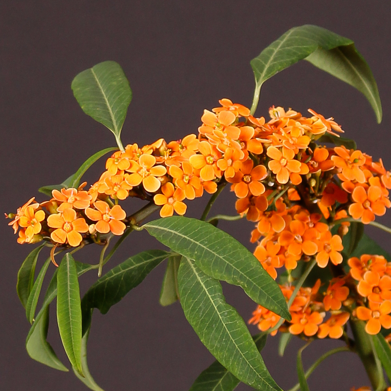 Euphorbia Fulgens Orange King