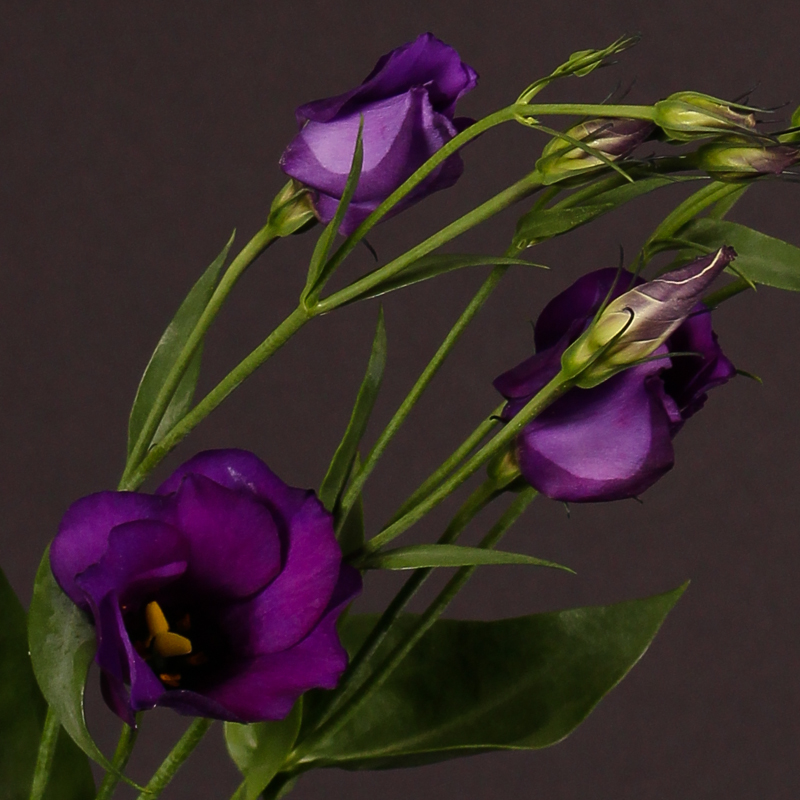 Lisianthus Colorado Purple