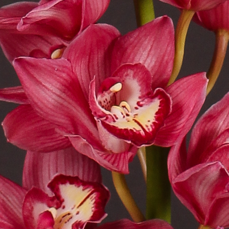 Cymbidium Briljant