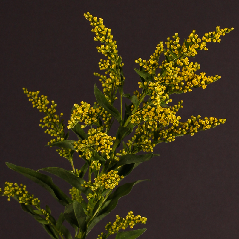 Solidago Golden Glory