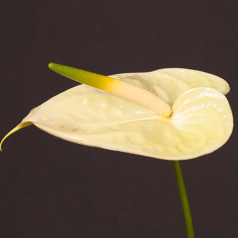 Anthurium Marysia