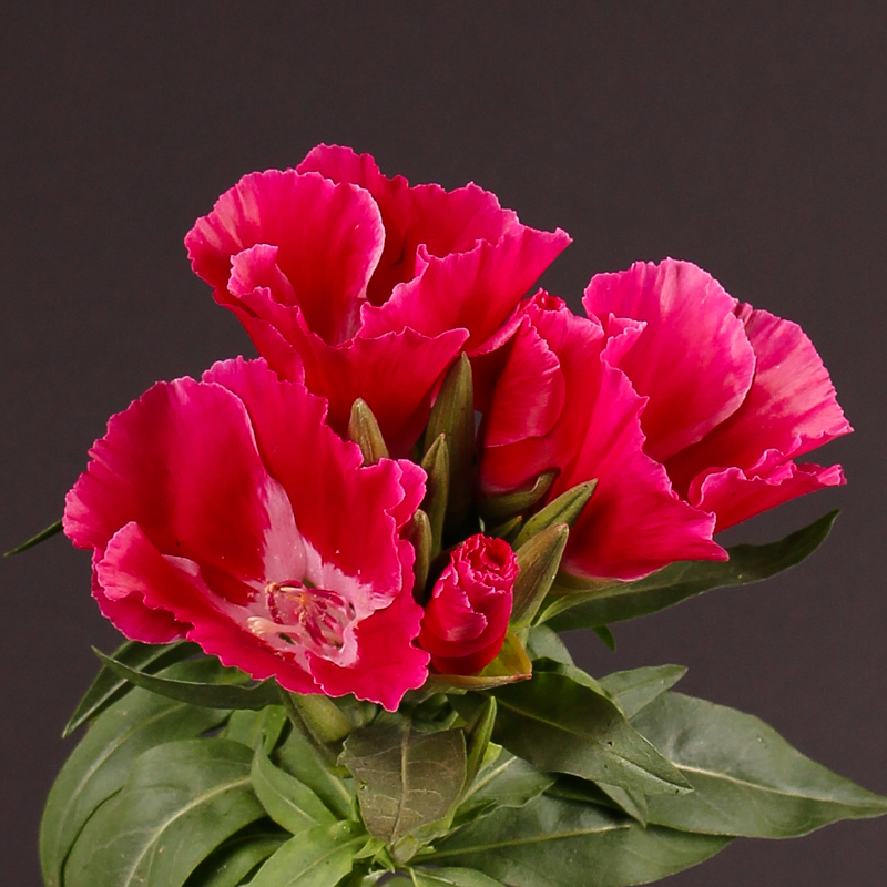 Clarkia Amoena Grace Red