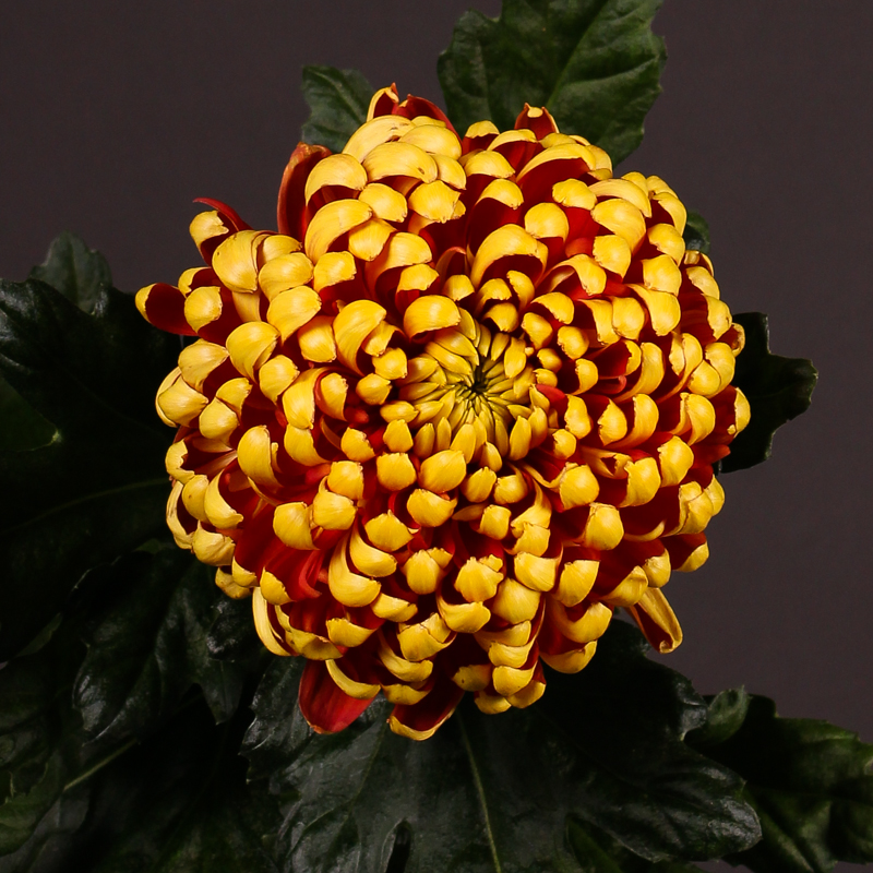 Chrysanthemum Fuego Dark