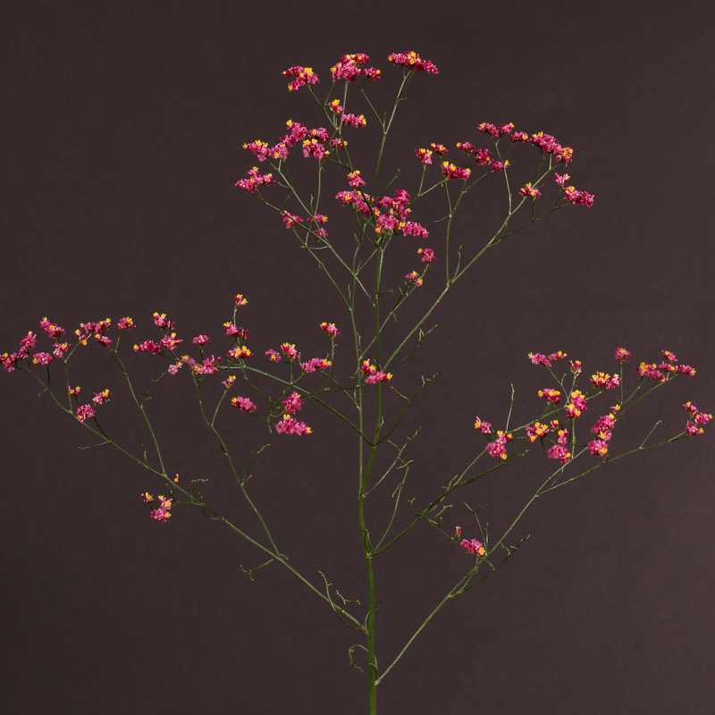 Limonium Hot Pink Diamond
