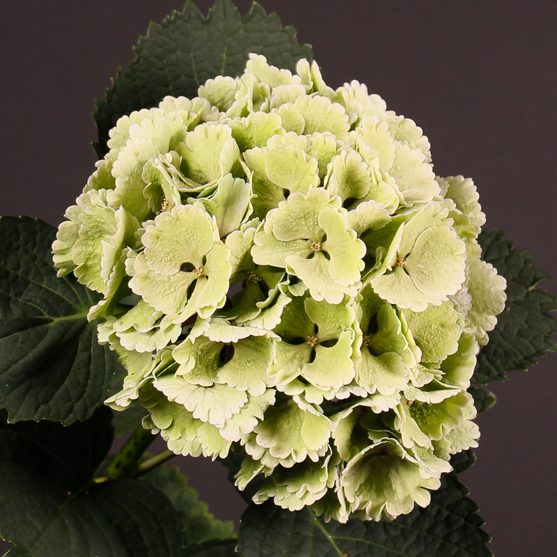 Hydrangea  Lolly Pop Classic
