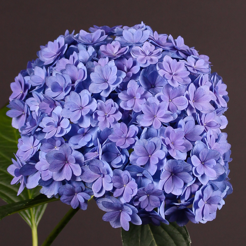 Hydrangea Together
