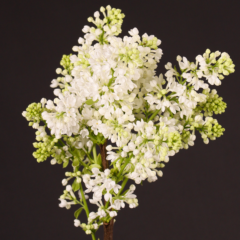 Syringa Madame Florent Stepman