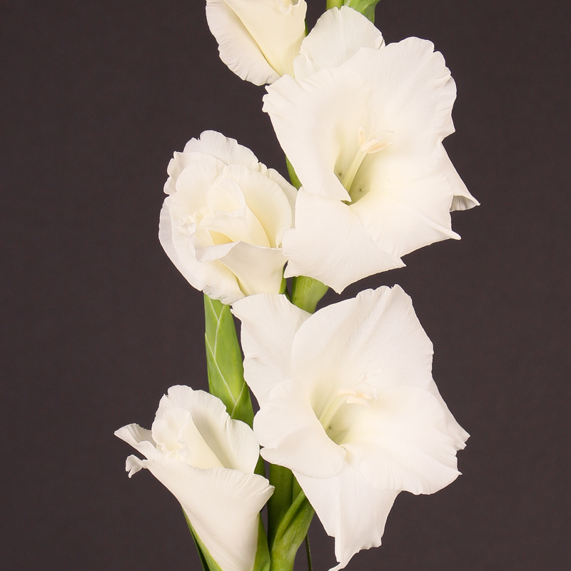 Gladiolus Super Star