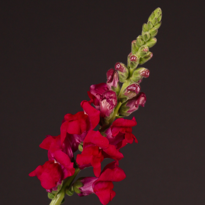 Antirrhinum Potomac Royal