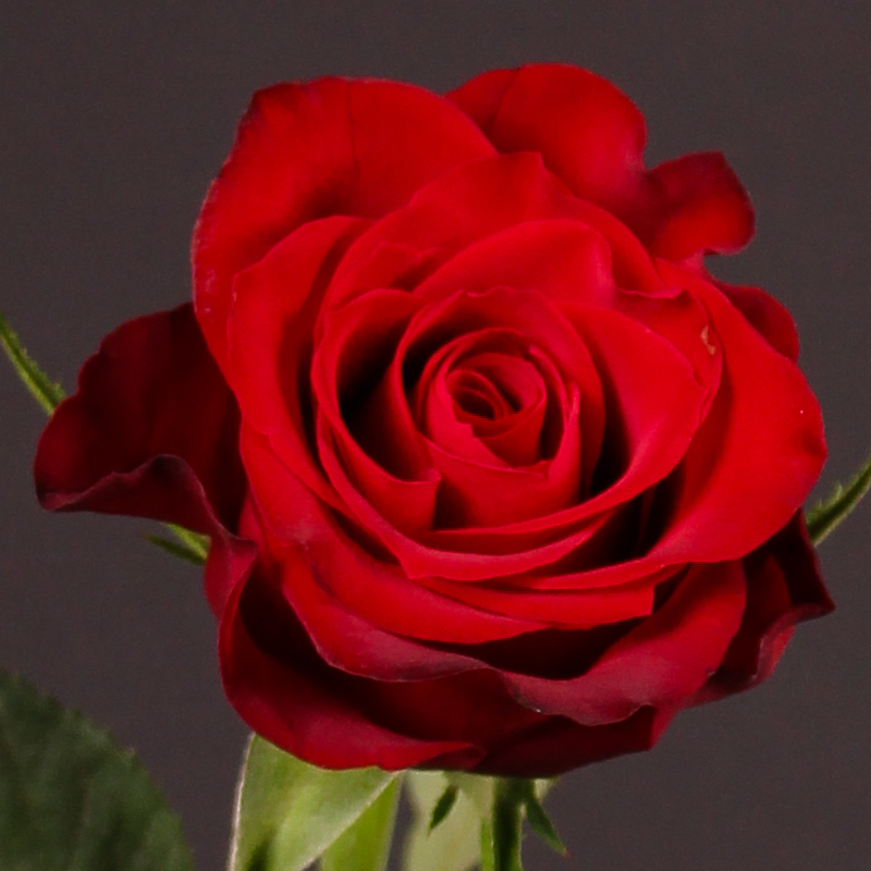 Rosa Red Crown