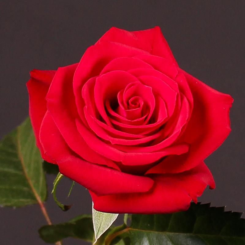 Rosa Red Heat