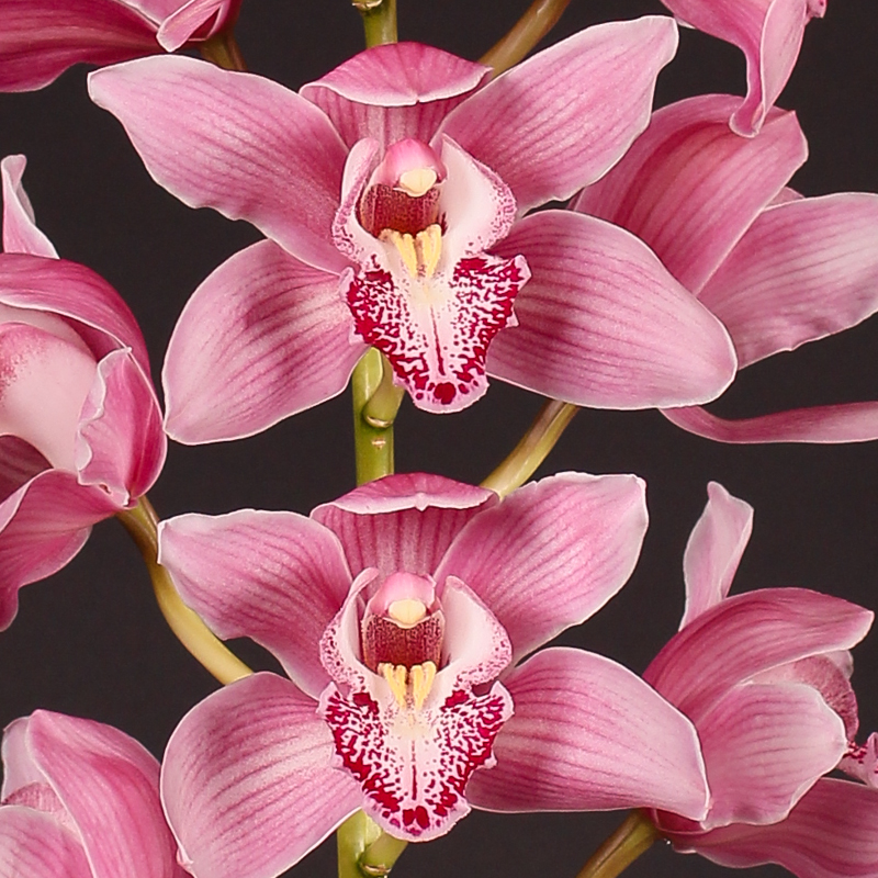 Cymbidium Breamer