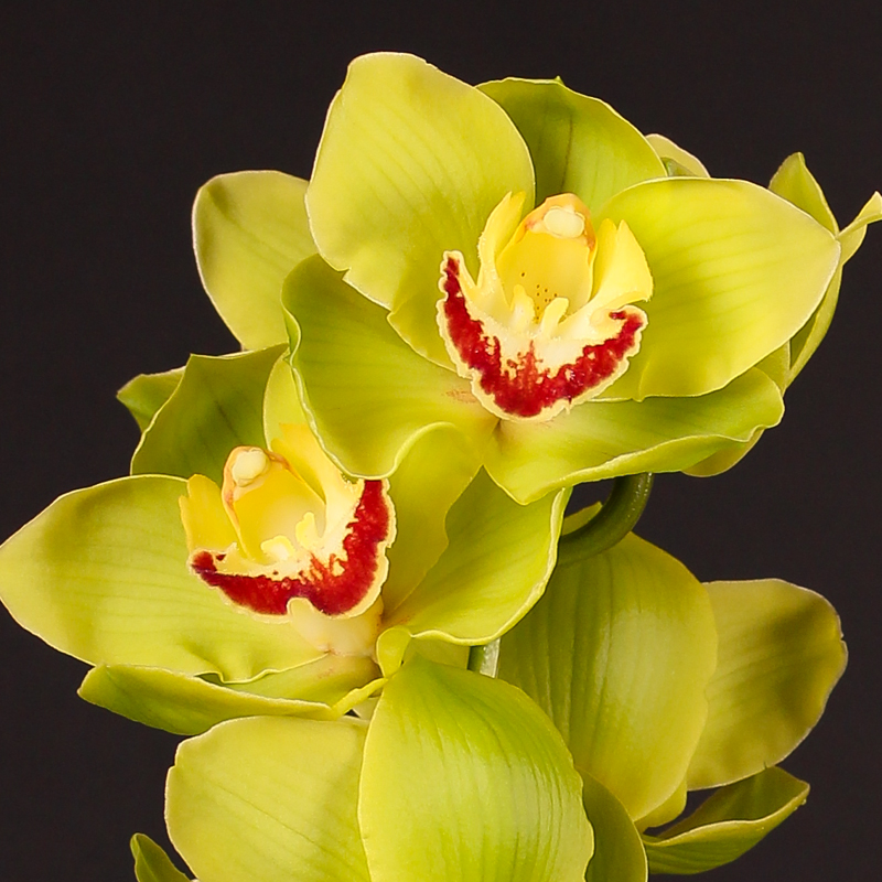 Cymbidium Smokeflor