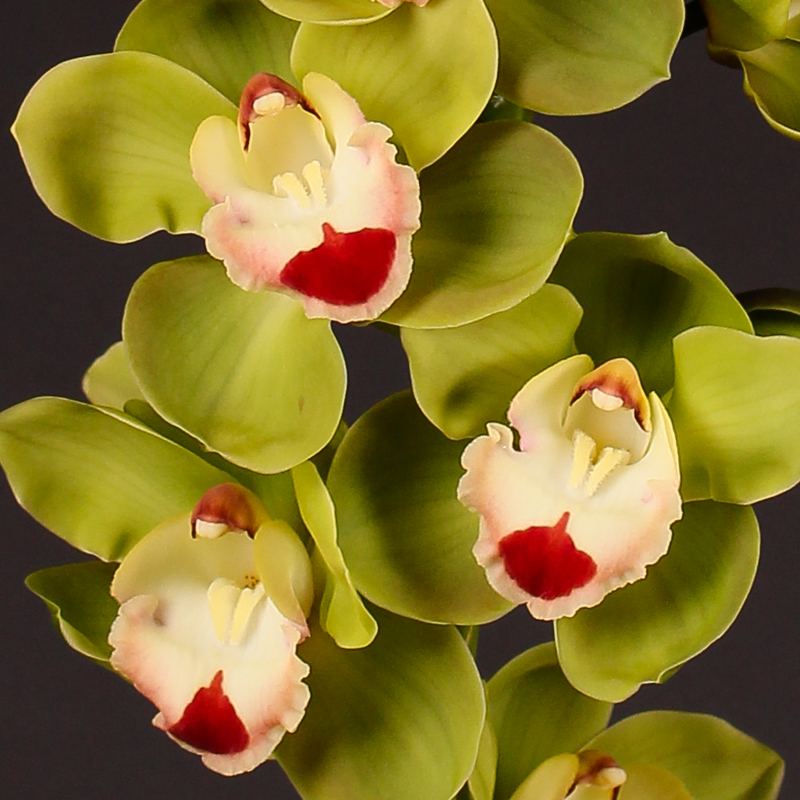 Cymbidium Topsport