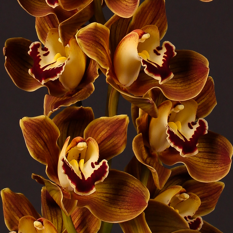Cymbidium Coca Cola