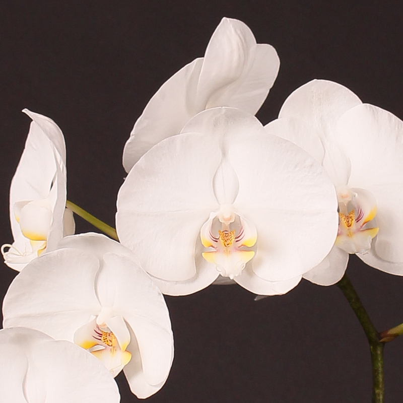 Phalaenopsis White Wonder