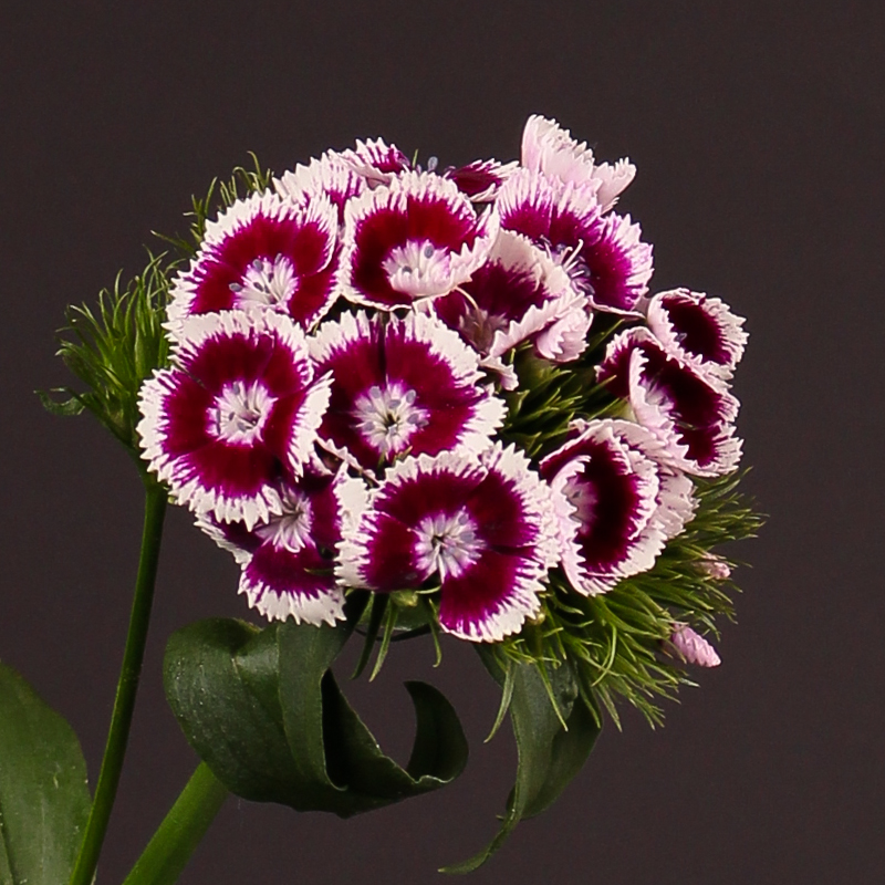 Dianthus Barbatus Sweet Will Purple White