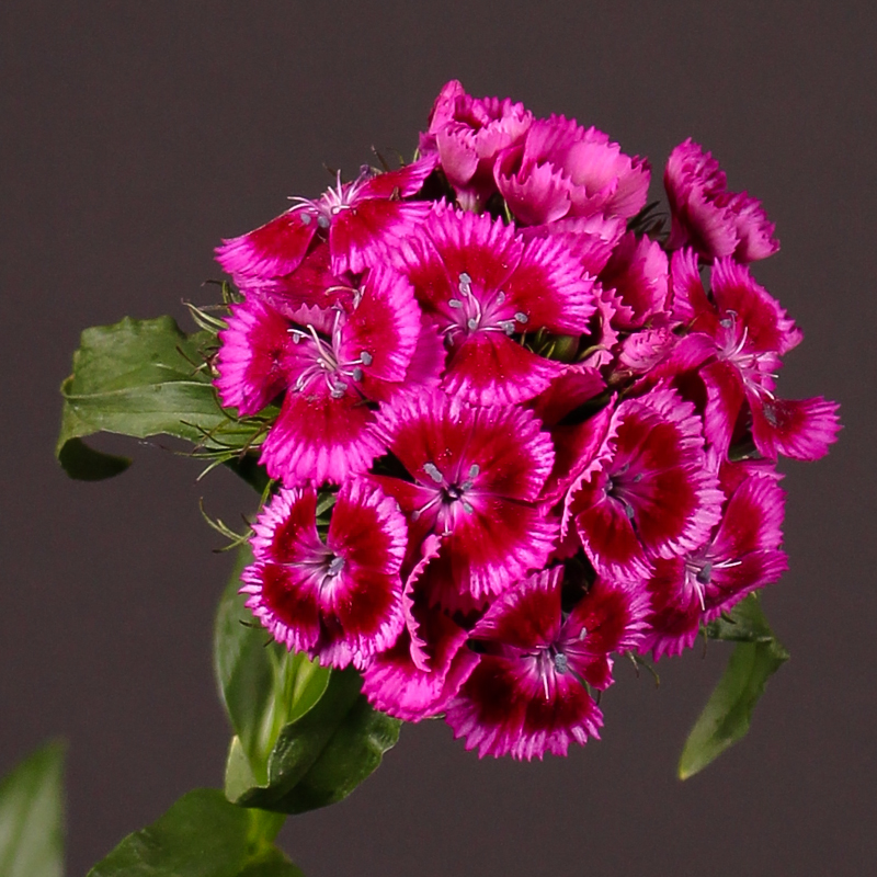 Dianthus Barbatus Sweet Will Magenta