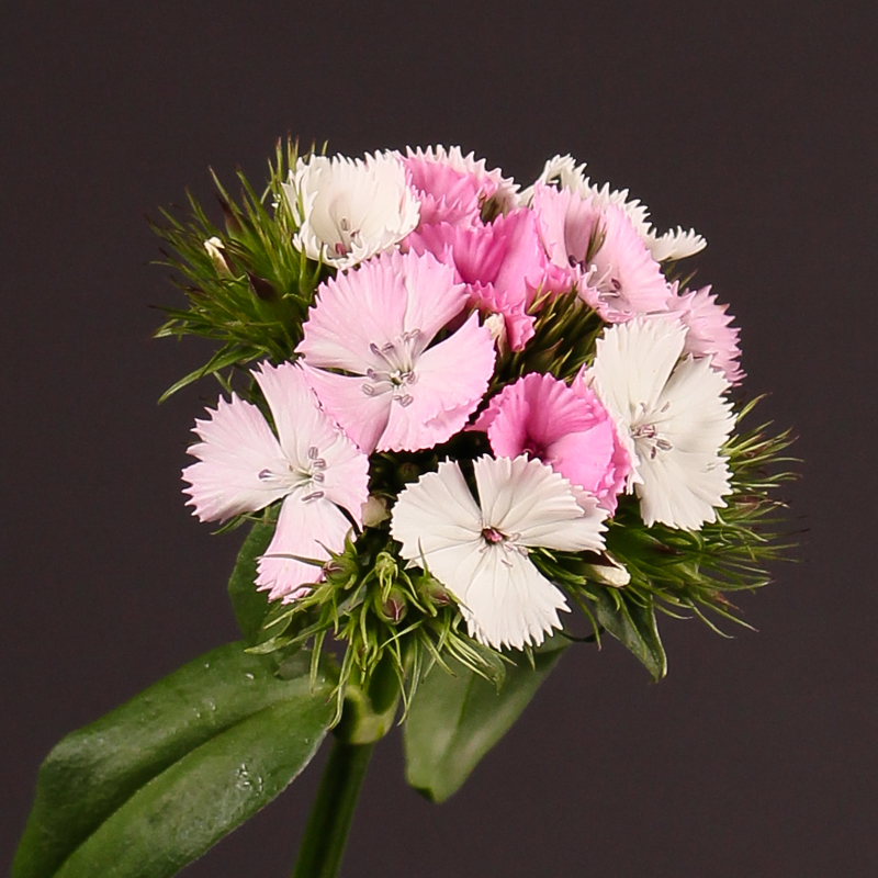 Dianthus Barbatus Sweet Will Magic Pink