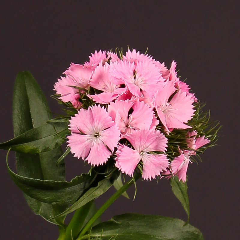 Dianthus Barbatus Sweet Will Pink