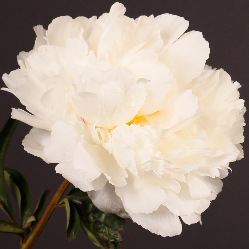 Paeonia white angel flowersense paeonia white angel mightylinksfo