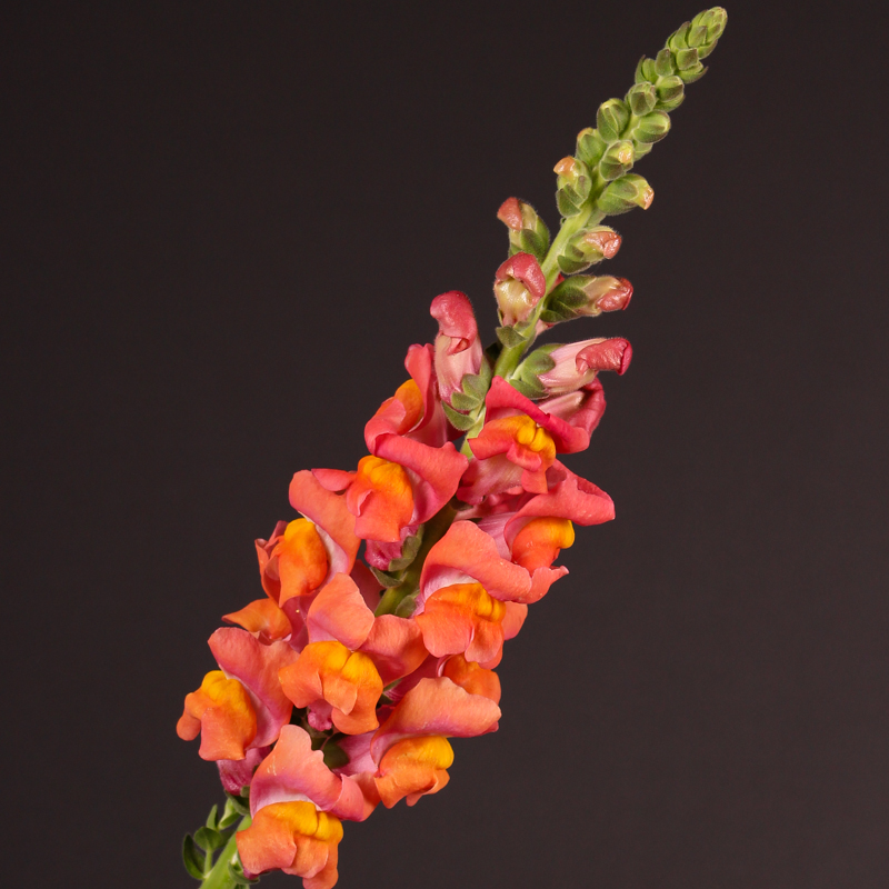 Antirrhinum Animation Deep Orange
