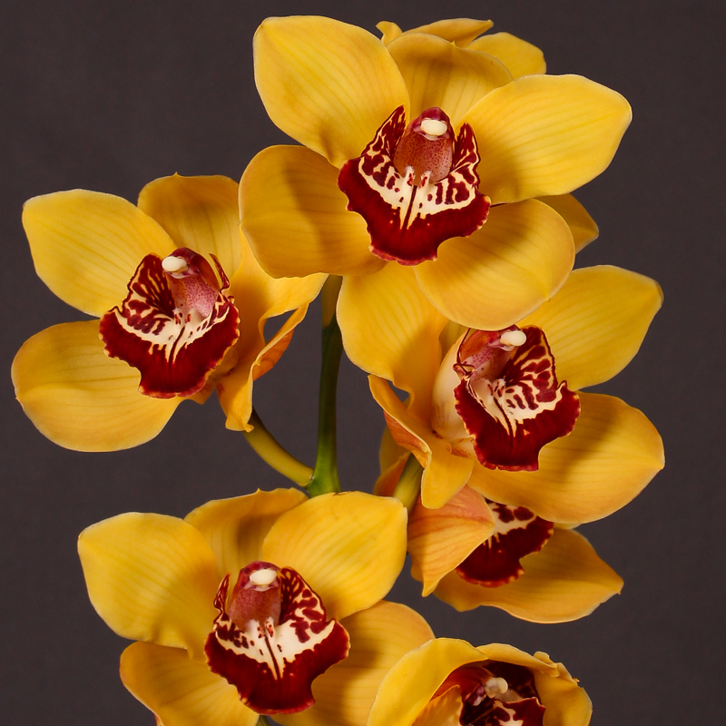 Cymbidium Orange Favourite