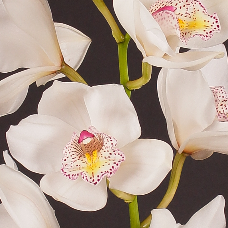 Cymbidium Beauty Fred No 60