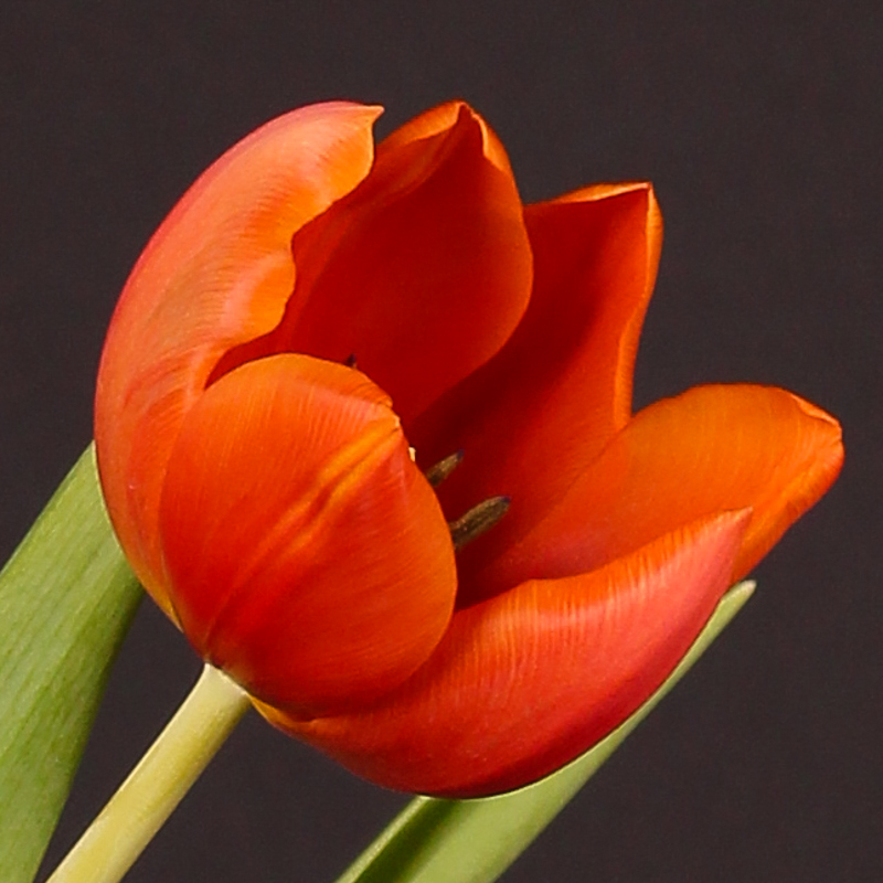 Tulip Orange Cassini