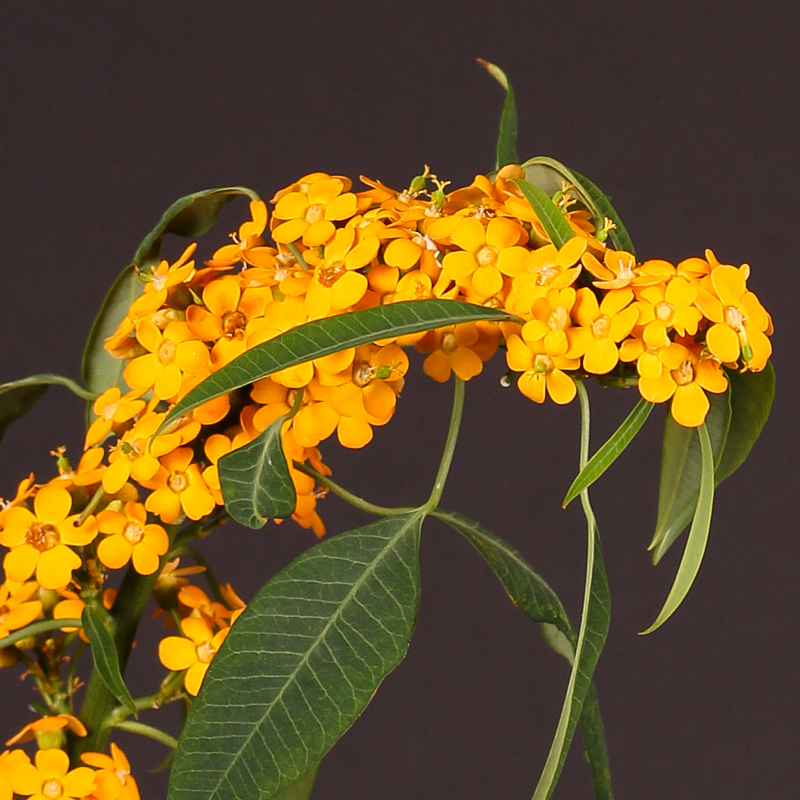 Euphorbia Fulgens Yellow River