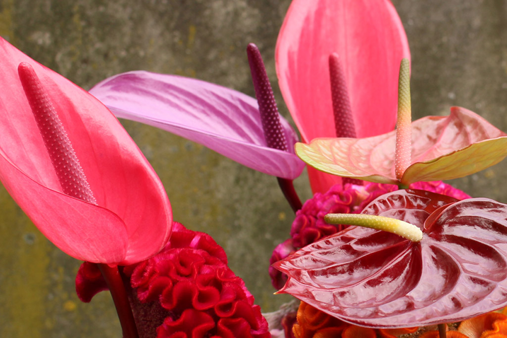 anthurium-websfeer4