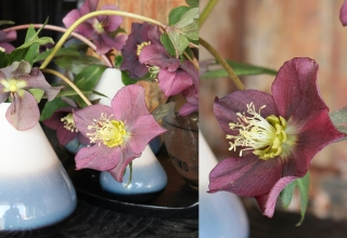 Helleborus Brings Us Hope