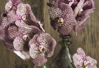 Vanda – Living Jewel